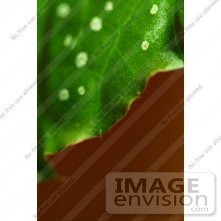 #431 Plant Picture of the Cane Begonia by Kenny Adams