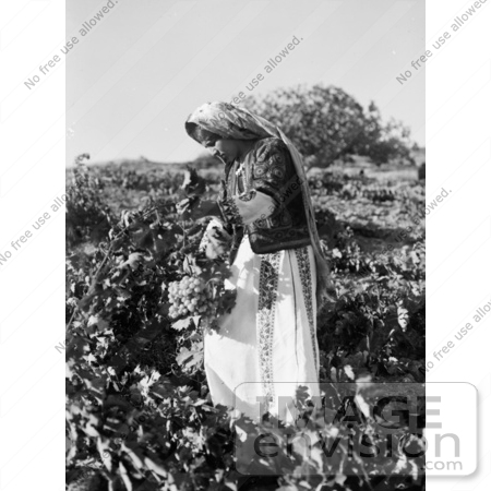 #43485 RF Stock Photo Of A Ramallah Girl Picking Grapes In Taibeh, Israel, 1937 by JVPD