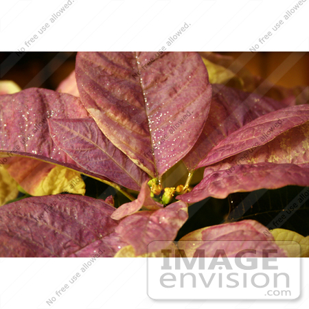 #439 Photo of a White Poinsettia Plant Painted Purple by Jamie Voetsch