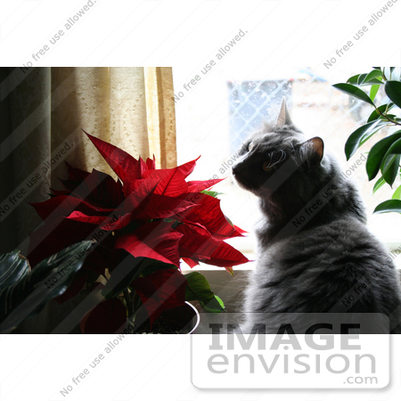 #447 Photo of a Silver Cat Smelling a Poinsettia Plant by Jamie Voetsch