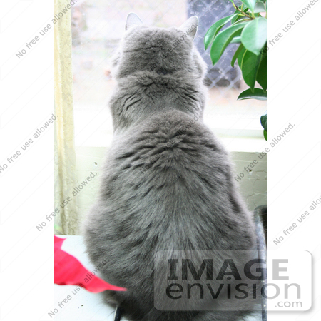 #450 Image of a Silver Cat Looking Out a Window by Jamie Voetsch