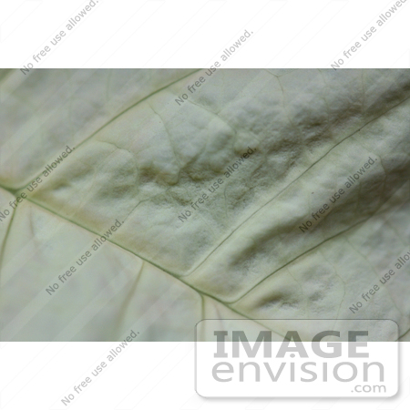#471 Photograph of the Texture of a White Poinsettia Leaf by Jamie Voetsch