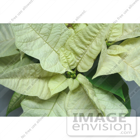 #476 Photo of a White Poinsettia Plant by Jamie Voetsch