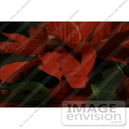 #485 Picture of a Red Poinsettia Plant in Water by Kenny Adams