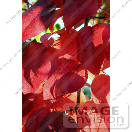 #49 Picture of Autumn Red Leaves by Kenny Adams