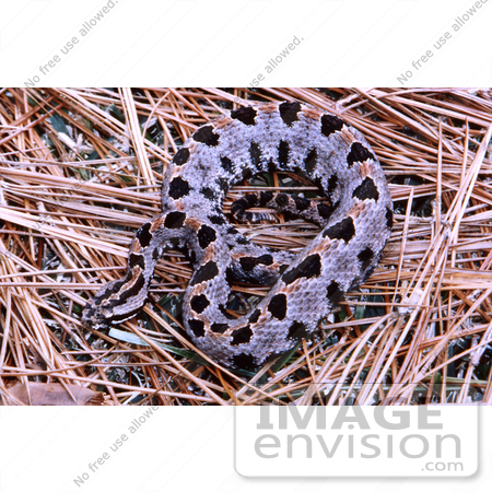 #5073 Stock Photography of a Venomous Pygmy Rattlesnake by JVPD