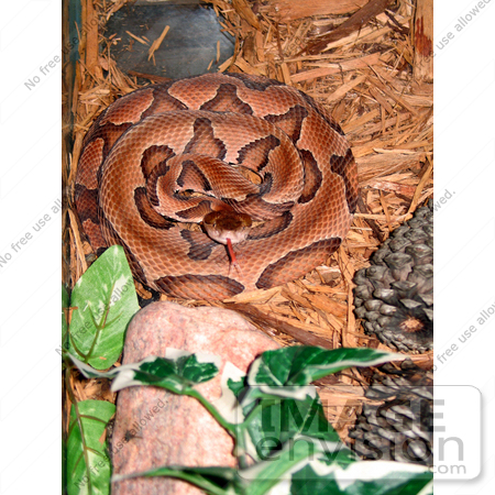 #5086 Stock Photography of a Southern Copperhead by JVPD