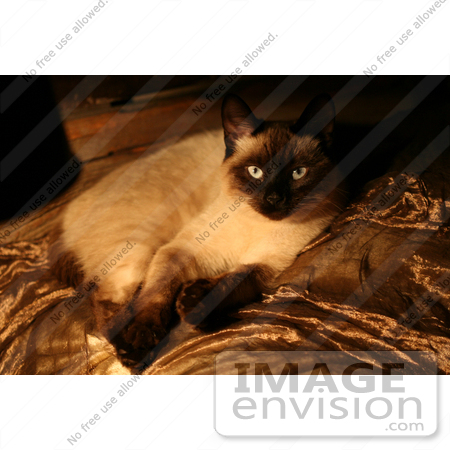 #535 Picture of a Siamese Cat Laying Down by Kenny Adams
