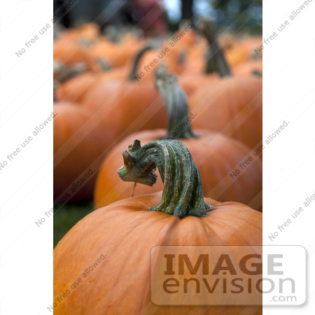 #53692 Royalty-Free Stock Photo of Pumpkins In Field 5 by Maria Bell