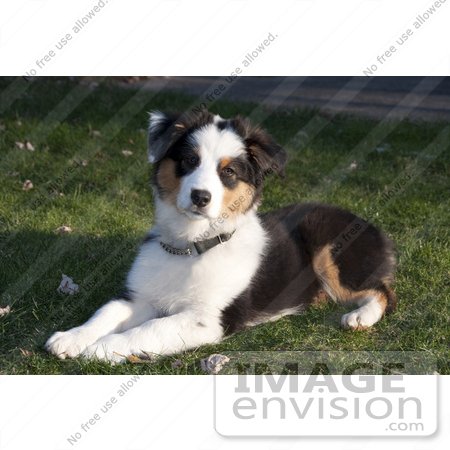 #53896 Royalty-Free Stock Photo of an Australian Shepherd by Maria Bell