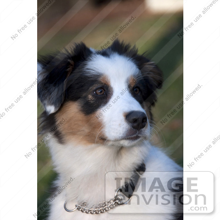 #53897 Royalty-Free Stock Photo of an Australian Shepherd by Maria Bell