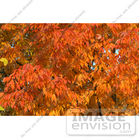 #54 Photo of Orange Fall Colors by Kenny Adams
