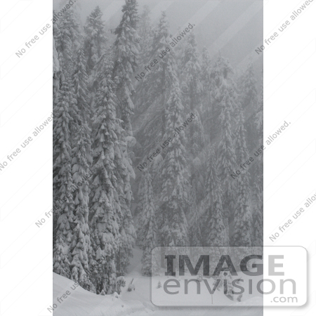 #542 Winter Picture of Evergreen Pine Trees Covered with Snow by Kenny Adams