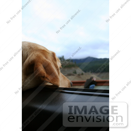 #576 Photograph of a Yellow Lab Dog Sticking His Head Out a Car Window by Jamie Voetsch