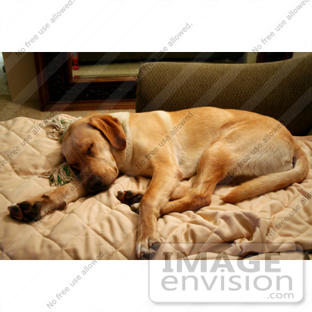 #592 Photograph of a Yellow Lab Dog Sleeping on a Couch by Jamie Voetsch