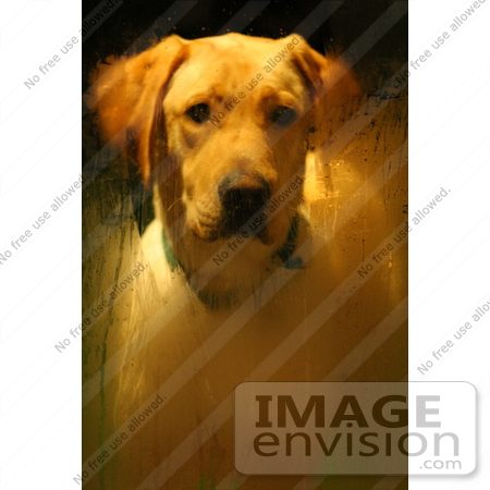 #601 Picture of a Yellow Lab Patiently Waiting at the Door by Kenny Adams