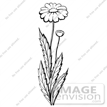 #61937 Clipart Of A Daisy Plant With A Flower And Bud In Black And White - Royalty Free Vector Illustration by JVPD