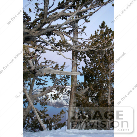 #629 Photograph of Trees Along the Rim of Crater Lake, Oregon by Jamie Voetsch