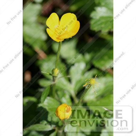 #693 Photograph of Four Different Stages of Buttercup Flowers by Jamie Voetsch