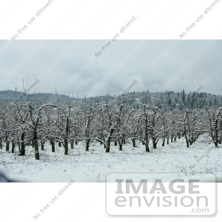#729 Image of a Pear Orchard in Snow, Jacksonville, Oregon by Jamie Voetsch