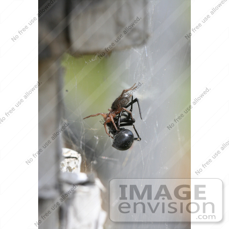 #7717 Image of a Woodlice Spider Killing a Black Widow by Jamie Voetsch