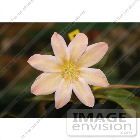 #813 Photo of a Peach Colored Lewisia Tweedyi Flower by Jamie Voetsch