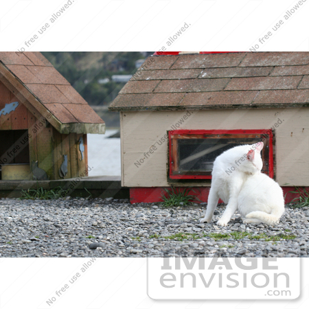 #829 Photography of a White Feral Cat Biting at Fleas by Kenny Adams
