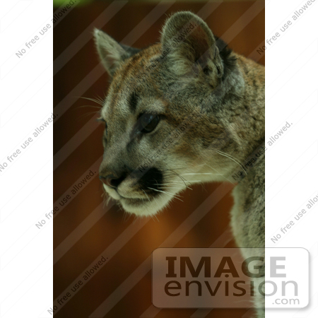 #861 Photography of a Teen Cougar Cat by Kenny Adams