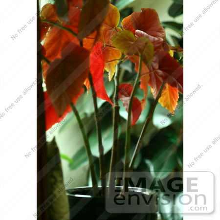 #939 Picture of the Red Leaves of an Angel Wing Begonia Plant by Kenny Adams