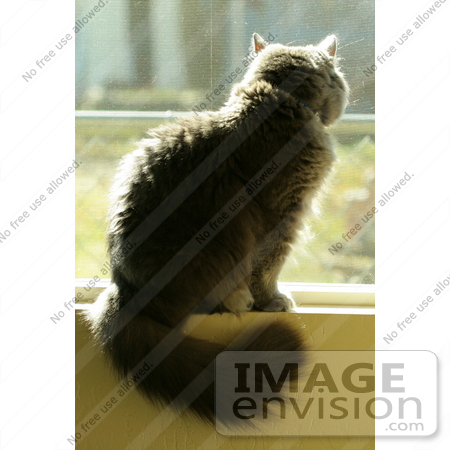 #942 Photography of a Gray Cat Sitting on a Windowsill by Kenny Adams