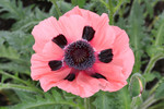 Free Picture of Pink Oriental Poppy Flower