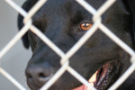 Free Picture of Black Dog at the Humane Society
