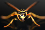 Free Picture of Yellow and Black Wasp