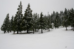 Free Picture of Mount Ashland Fir Trees in Winter Snow