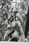 Free Picture of Snow Covered Evergreen Tree