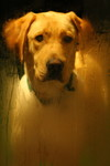 Free Picture of Yellow Lab Patiently Waiting at the Door