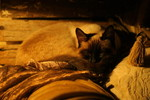 Free Picture of Siamese Cat Napping