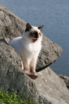 Free Picture of Ocean Cat Yawning