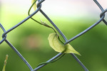 Free Picture of Blue Sky Vine Plant Growing on a Fence