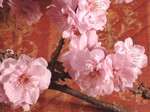 Free Picture of Pink Cherry Blossoms