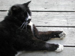 Free Picture of Tuxedo Cat Lying on a Porch
