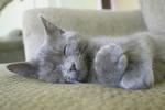 Free Picture of Gray Kitten Sleeping