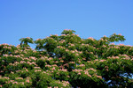 Free Picture of Mimosa Tree