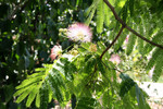 Free Picture of Flowers on a Mimosa Tree