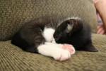 Free Picture of Tuxedo Kitten Sleeping