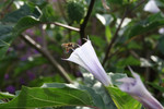 Free Picture of Purple Jimson Weed Flower With a Bee