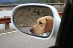 Free Picture of Yellow Lab Sticking His Head Out of a Car Window