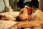 Free Picture of Yellow Labrador Dog Sleeping on a Couch