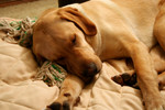 Free Picture of Yellow Lab Dog Sleeping on a Couch
