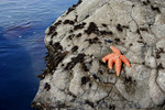 Free Picture of Orange Starfish on a Rock